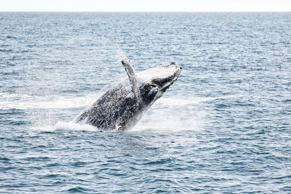 Trend Travel Yachting Charter Norwegen - Buckelwal